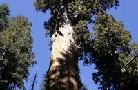 Wipfel eines Mammutbaums