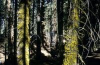Mammutbäume im Sequoia Nationalpark