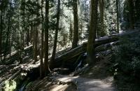 Gefällter Mammutbaum im Sequoia Nationalpark
