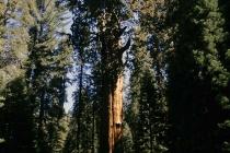 Mammutbaum im Sequoia Nationalpark