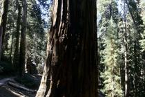 Stamm eines Mammutbaum im Sequoia Nationalpark