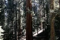 Wanderpfad zwischen den Mammutbäumen im Sequoia Nationalpark
