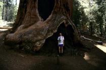 Größenvergleich zwischen dem großen Fred und einem Mammutbaum