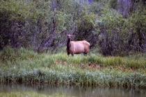 Ein Hirsch am See