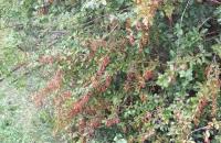 Rote Beeren am Wegesrand