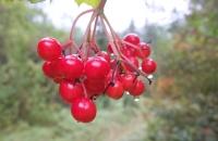 Rote Beeren mit Tau