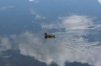 Ente im Wildebensee