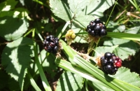 Gemischte Beeren am Wegesrand