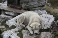 Husky bei der Dachstein Lodge