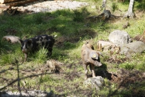 Linderödschweine