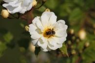 Blüte mit Insekt