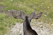 Schaufeln eines Elchbullen