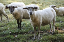 Schafe am Wegesrand