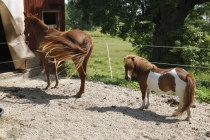 Schönes Pferd und süßes Poni