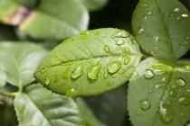 Frische Tropfen auf grünem Blatt