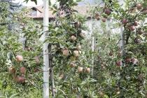 Äpfel wachsen hier sehr viel