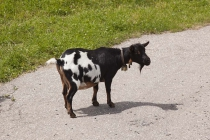 Eine Ziege begrüßte mich