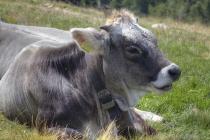 Zutrauliche Kuh beim Verdauen