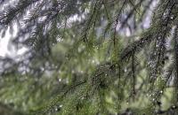 Nadelbaumzweige mit Regentropfen