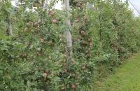 Apfelplantage am Kalterer See