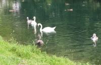 Schwäne auf dem Wasser in Essing