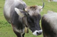 Schöne Kühe