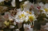 Baumblüte