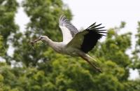 Ein Storch im Anflug mit Baumaterial