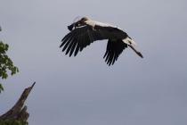 Noch ein Storch im Anflug mit Baumaterial