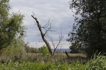 Alter Baum an der March
