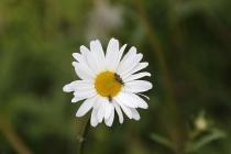 Blume mit Insektenbesuch