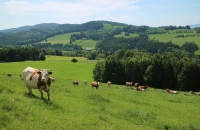 Kuhweide nahe Bernau