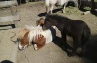 Ponymutter mit Fohlen