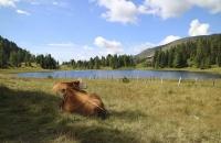 Kühe am Schwarzsee