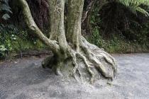 Baum mit Luftwurzeln