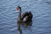 Schwarzer Schwan am Henley Lake