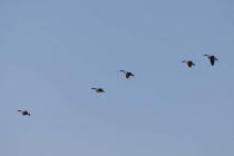 Eine Gruppe Gänse in Flugformation