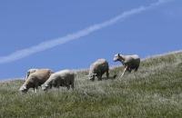 Schafe am Cape Farewell