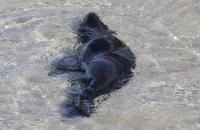 Junger Seelöwe beim Spielen im Wasser