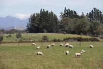 Schafweide in der Golden Bay