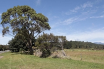 Typischer Baum in Neuseeland