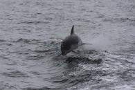 Delphin beim Springen im Wasser