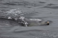 Delphin nahe der Wasseroberfläche