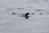 Ein Seebär beim Schwimmen