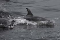 Delphine beim Schwimmen