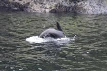 Ein Seebär beim Springen