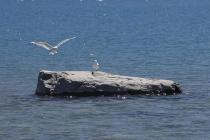 Möwe bei der Landung am Lake Tekapo