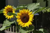Sonnenblumen im Vorgarten