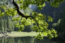 Beleuchtete Blätter am Kammersee