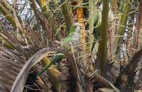 Grüner Papagei in Palme